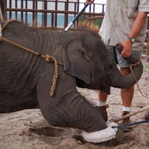 maltrattamento-elefante