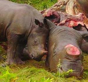rinoceronte-e-piccolo1